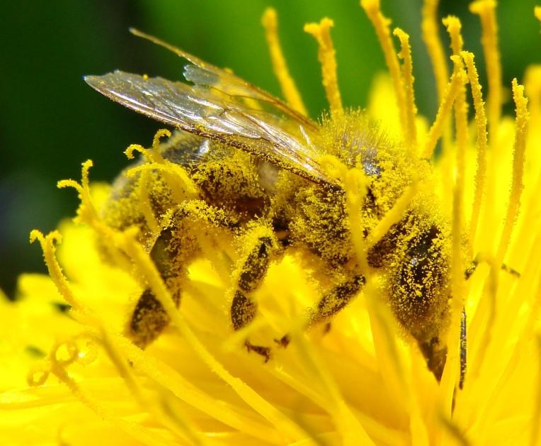 abeille pollinize 2