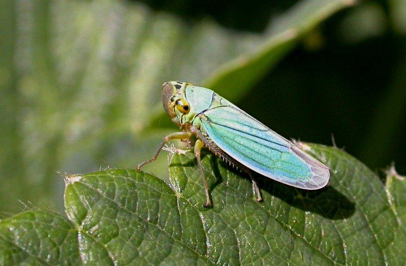 Cicadella Viridis (foto Wikipedia) chicharrita de la vid
