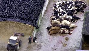 masacre vaca loca 2