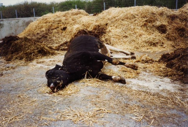 vaca loca