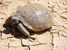tortue du désert