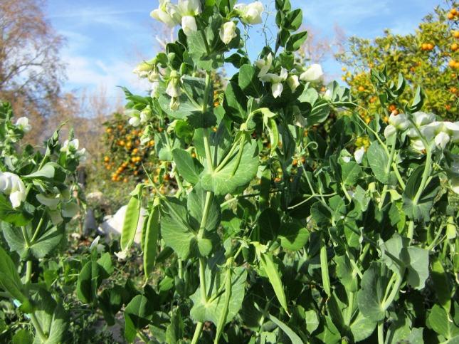 Comelotodos biodinamicos en flor y con guisantes...